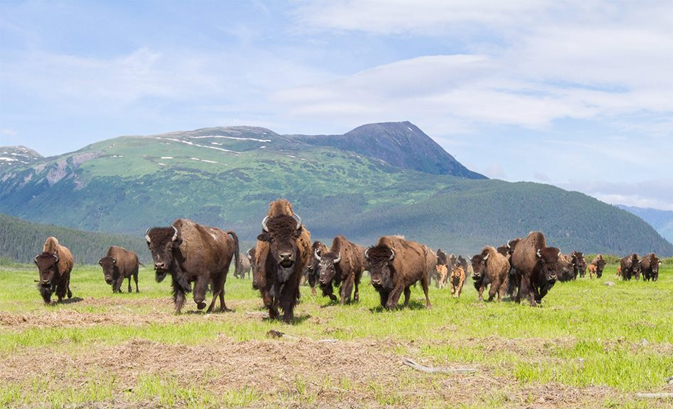See Wild Alaska at the Alaska Wildlife Conservation Center